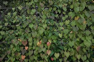 フジフィルムXF10の作例 フェンスにかかった葉